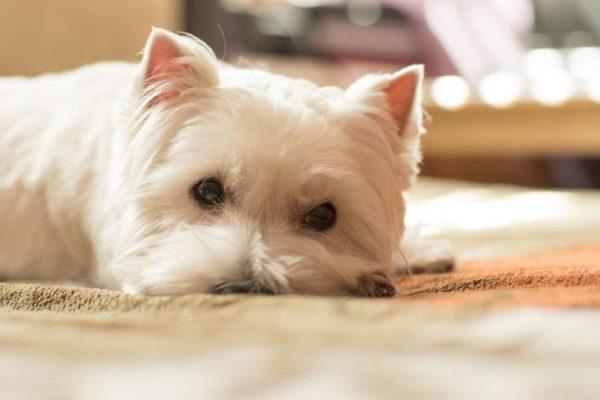 Allergiker-Hunde: Die Allergie beim Hund