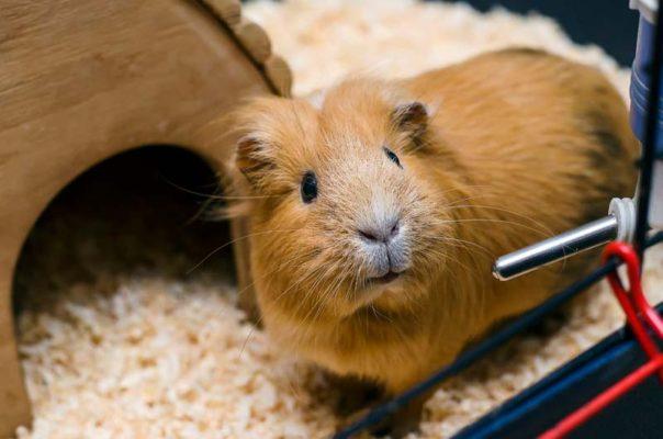 Hamster oder Meerschweinchen
