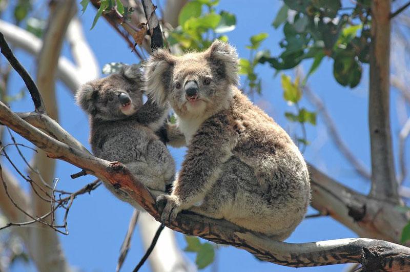 Koalas in einem Streichelzoo