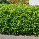 Kirschlorbeer Rotundifolia als Hecke